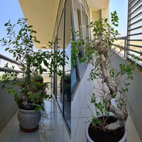 Used Big Potted Ficus Bonsai in Dubai, UAE