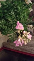 Used Pink Trumpet Vines in Dubai, UAE