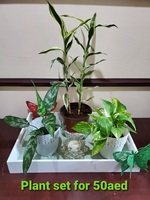 Used Chinese Evergreen plant in Dubai, UAE