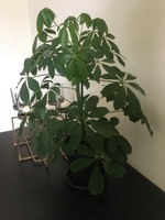 Used Umbrella plant in Dubai, UAE