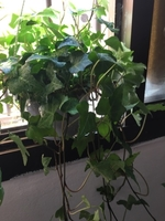 Used English Ivy in Dubai, UAE