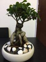 Used Bonsai Ficus in Dubai, UAE