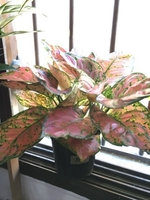 Used Calatheas/Heart of Jesus  in Dubai, UAE