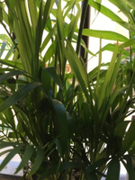 Used Cat Palm in Dubai, UAE