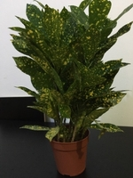 Used Variegated Croton in Dubai, UAE