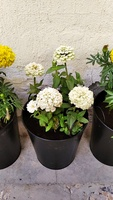 Used Flower Plants with Metal Pot and Soil in Dubai, UAE