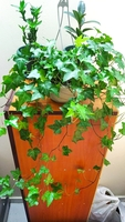 Used English Ivy Indoor Plant with HanginPot in Dubai, UAE