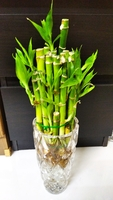 Used Lucky Bamboo Plant in Glass Vase in Dubai, UAE