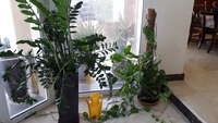 Used Four real green indoor plants . in Dubai, UAE