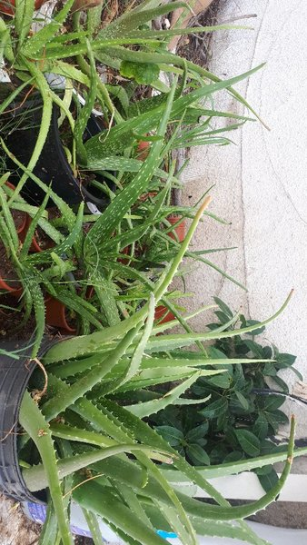 Used Fresh Aloe Vera with Pot in Dubai, UAE