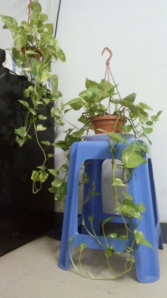 Used Money Plant in Dubai, UAE