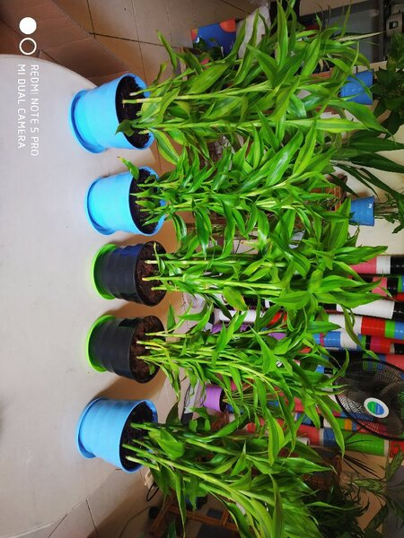 Used Lucky bamboo plant in Dubai, UAE