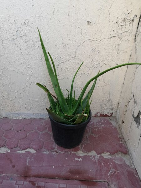 Used Aloevera plant in Dubai, UAE