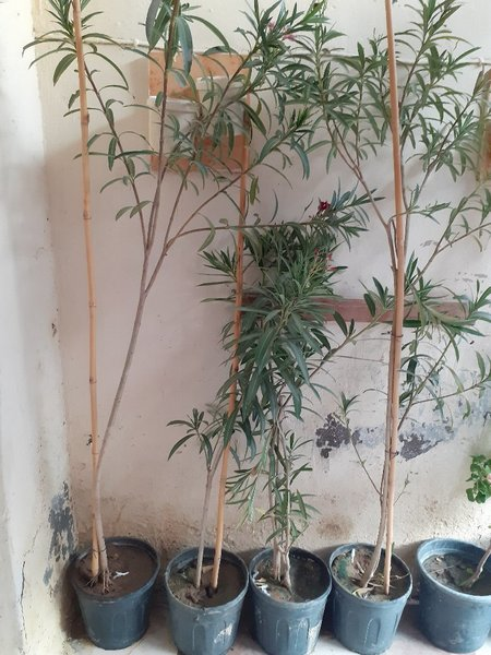 Used Nerium oleander plants in Dubai, UAE