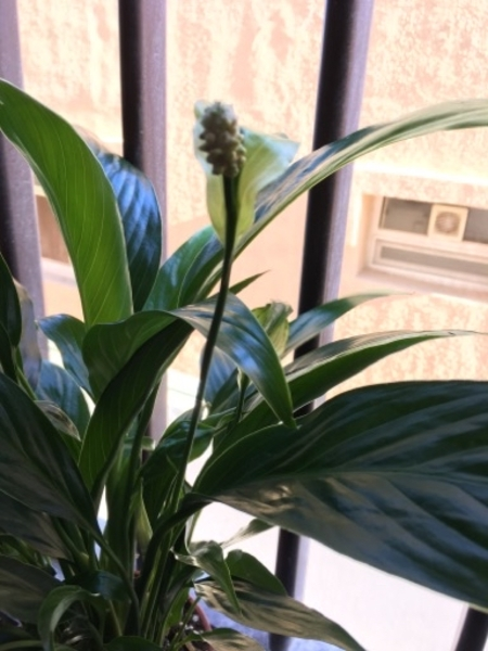 Used Peace Lily in Dubai, UAE