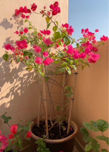 "Used Bougenvillea plant 18"" ceramic pot in Dubai, UAE"