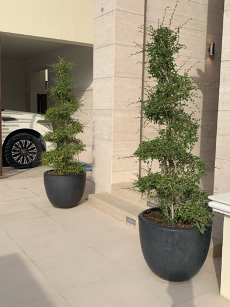 Used Set of 2 outdoor spiral plants with pots in Dubai, UAE