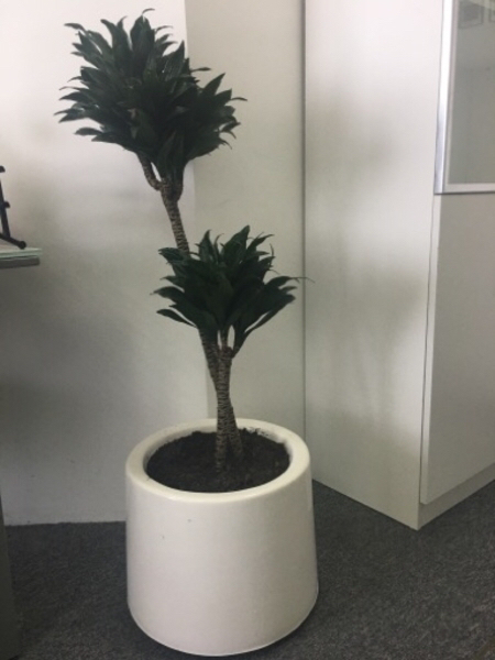 Used Office - Indoor plants with pots in Dubai, UAE