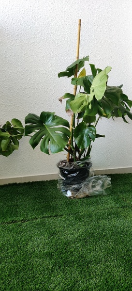 Used Indoor Plants in Dubai, UAE