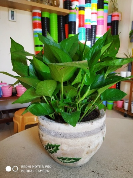 Used Money plant (Pothos) in Dubai, UAE